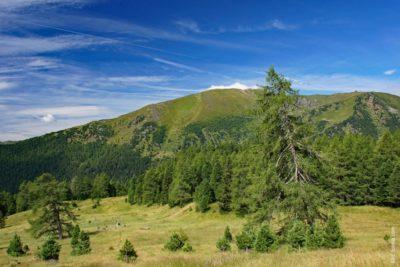 zirbe-baum-wald-alpen-massivholz-aetherische-oele-tischlerei-wolff-heeslingen-bei-zeven-sittensen-selsingen